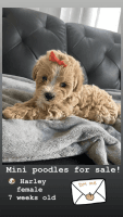Poodle Puppies for sale in 325 NW 72nd Ave, Miami, FL 33126, USA. price: NA