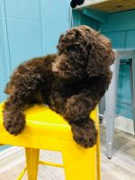 Poodle Puppies for sale in Dunwoody, GA, USA. price: NA
