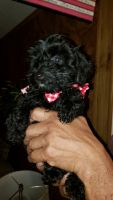 Poodle Puppies for sale in Frostproof, FL 33843, USA. price: NA