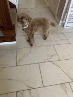 Poodle Puppies for sale in Arlington, TX, USA. price: NA