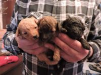 Poodle Puppies for sale in Kane, PA 16735, USA. price: NA