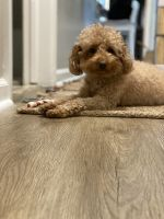 Poodle Puppies for sale in Virginia Beach, VA 23452, USA. price: NA