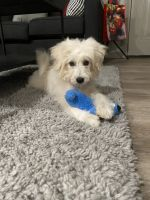 Poodle Puppies for sale in Poughkeepsie, NY, USA. price: NA