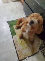 Poodle Puppies for sale in Hillside, NJ 07205, USA. price: NA