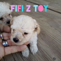 Poodle Puppies for sale in Coldwater, MI 49036, USA. price: NA
