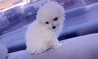 Poodle Puppies for sale in San Jose, CA, USA. price: NA