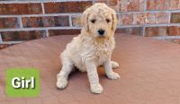 Poodle Puppies for sale in Middleburg, FL 32068, USA. price: NA