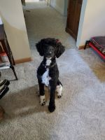 Poodle Puppies for sale in Oswego, NY, USA. price: NA