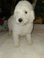 Poodle Puppies for sale in Lumberton, NC, USA. price: NA