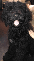 Poodle Puppies for sale in Knoxville, TN, USA. price: NA
