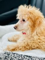 Poodle Puppies for sale in Lewis Center, OH, USA. price: NA