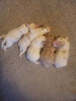 Poodle Puppies for sale in Oronogo, MO, USA. price: NA