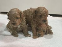 Poodle Puppies for sale in Tampa, FL, USA. price: NA