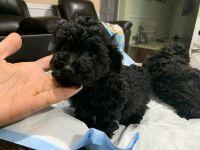 Poodle Puppies for sale in Atlanta, GA, USA. price: NA