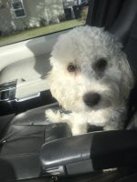 Poodle Puppies for sale in Los Angeles, CA 91325, USA. price: NA