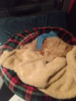 Poodle Puppies for sale in Lee County, NC, USA. price: NA