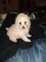 Poodle Puppies for sale in Kissimmee, FL, USA. price: NA