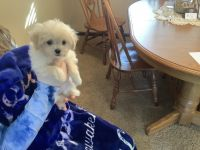 Poodle Puppies for sale in Clearwater, MN, USA. price: NA