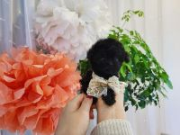 Poodle Puppies for sale in Detroit, MI, USA. price: NA