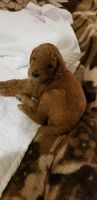 Poodle Puppies for sale in Niles, IL, USA. price: NA