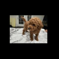 Poodle Puppies for sale in 10054 Hutzell St, Ijamsville, MD 21754, USA. price: NA