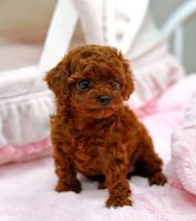 Poodle Puppies for sale in Chicago Heights, IL, USA. price: NA