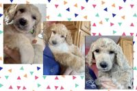 Poodle Puppies for sale in Stanley, WI 54768, USA. price: NA
