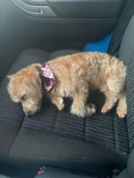 Poodle Puppies for sale in Louisville, KY 40245, USA. price: NA
