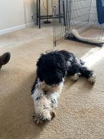 Poodle Puppies for sale in Gladys, VA 24554, USA. price: NA