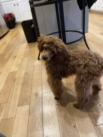 Poodle Puppies for sale in Buford, GA, USA. price: NA