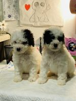 Poodle Puppies for sale in Spring, TX 77373, USA. price: NA