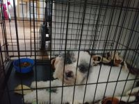 Poodle Puppies for sale in Charlotte, NC 28215, USA. price: NA