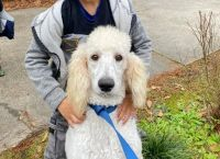 Poodle Puppies for sale in 3000 Hampstead Blvd, Clinton, MS 39056, USA. price: NA