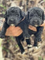 Poodle Puppies for sale in Fitzgerald, GA 31750, USA. price: NA