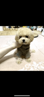 Poodle Puppies for sale in Chino Hills, CA, USA. price: NA