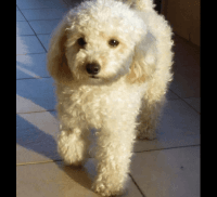 Poodle Puppies for sale in Washington, DC, USA. price: NA