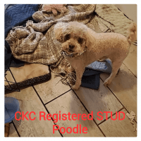 Poodle Puppies for sale in San Antonio, TX 78263, USA. price: NA