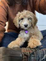 Poodle Puppies for sale in Wade, NC, USA. price: NA