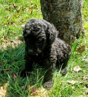 Poodle Puppies for sale in Cumberland, VA 23040, USA. price: NA