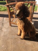 Poodle Puppies for sale in Houston, TX, USA. price: NA
