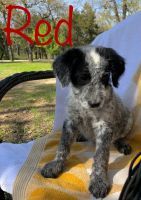 Poodle Puppies for sale in Waco, TX, USA. price: NA
