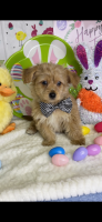Poodle Puppies for sale in Anna, TX 75409, USA. price: NA