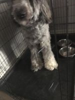 Poodle Puppies for sale in 1280 Middle Tennessee Blvd, Murfreesboro, TN 37130, USA. price: NA