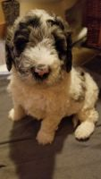 Poodle Puppies for sale in San Francisco Bay Area, CA, USA. price: NA