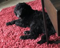 Poodle Puppies for sale in Dallas, TX, USA. price: NA