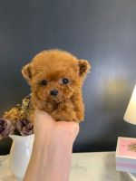 Poodle Puppies for sale in Seoul Garden Way, Valley, AL 36854, USA. price: NA