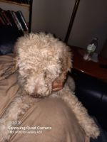 Poodle Puppies for sale in North Myrtle Beach, SC, USA. price: NA