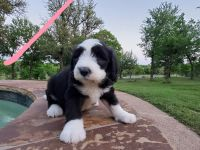 Poodle Puppies for sale in Aledo, TX 76008, USA. price: NA