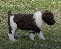 Poodle Puppies for sale in Centralia, MO 65240, USA. price: NA