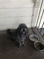 Poodle Puppies for sale in 21 W 15th St, Linden, NJ 07036, USA. price: NA